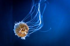 Del Chrysaora de los fuscescens de las medusas ortiga pacífica anaranjada del mar también foto de archivo libre de regalías