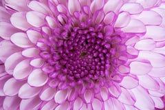 Del cierre centro para arriba - de la flor violeta Fotos de archivo libres de regalías