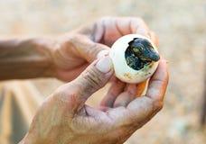Del cocodrilo del huevo Foto de archivo