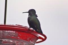 Del colibrí cierre para arriba Fotos de archivo