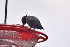 Del colibrí cierre para arriba Fotos de archivo libres de regalías