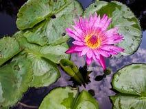 Del color de rosa flor waterlily fotos de archivo libres de regalías
