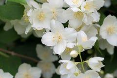 Del cornejo mofa-anaranjado del coronarius de Philadelphus flores blancas dulces, ingl?s fotos de archivo libres de regalías