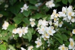 Del cornejo mofa-anaranjado del coronarius de Philadelphus flores blancas dulces, ingl?s fotos de archivo