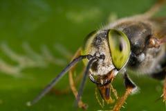 Del cuco de la abeja un cierre de ojos verdes para arriba Imagenes de archivo