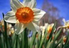 Del Daffodil fine in su Immagini Stock