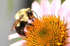 Del este manosee la abeja Fotos de archivo libres de regalías