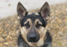 Del este - perro pastor europeo, pastor alemán negro fotografía de archivo