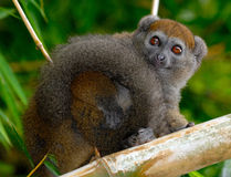 Del este poco Lemur de bambú Fotos de archivo libres de regalías