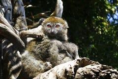 Del este poco lémur de bambú (griseus de Hapalemur) Imagenes de archivo