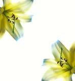 Del extracto marco hermoso lilly fotografía de archivo