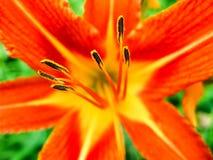 Del fiore dell'antera fine su fotografia stock libera da diritti