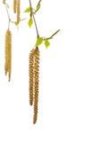 Del flor hojas del árbol de abedul hacia fuera. Foto de archivo libre de regalías