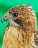 Del halcón de la cabeza cierre para arriba Foto de archivo libre de regalías