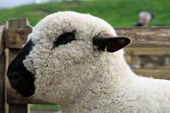 Del Hampshire pecore giù, con il suo scrutinio lanoso immagini stock libere da diritti