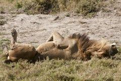 Del león parte posterior masculina encendido: ¡Ésta es la vida! Imagenes de archivo
