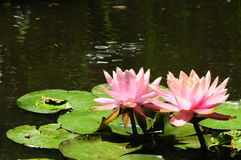 ` del Nymphaeaceae del ` de Lilypads Imagen de archivo