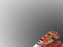 ` del ojo del pavo real del ` de la mariposa Imágenes de archivo libres de regalías