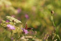 ` del pavo real del ` de la mariposa Fotos de archivo