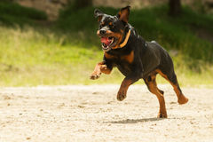 Del perro de Rottweiler del correo Imagenes de archivo