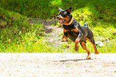 Del perro de Rottweiler del correo Imagen de archivo