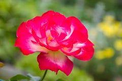 ` Del placer del doble del ` de Rose, una rosa de té híbrida Foto de archivo libre de regalías
