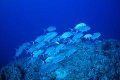 Del priacántido pescados trevally Fotos de archivo libres de regalías