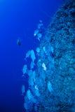Del priacántido pescados trevally Foto de archivo libre de regalías