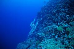 Del priacántido pescados trevally Imagen de archivo libre de regalías