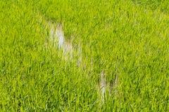 Del riso del giacimento verde interamente Immagine Stock Libera da Diritti