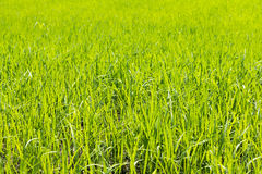 Del riso del giacimento verde interamente Fotografia Stock