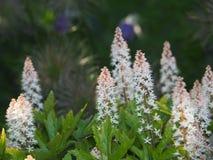 ` Del rosa de Dayglow del ` de Heucherella - campanas espumosas foto de archivo