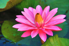 Del rosa flor hermosa y hojas waterlily que florecen en la charca Foto de archivo