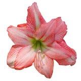 Del rosa flor lilly en blanco aislado Fotografía de archivo libre de regalías