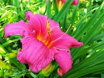 Del rosa foto de la macro de la flor lilly imagen de archivo libre de regalías