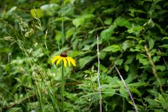 Del Rudbeckia solo de la flor del hirta cierre para arriba Imágenes de archivo libres de regalías