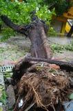 Del tifón del soplo árboles abajo Fotos de archivo