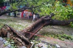 Del tifón del soplo árboles abajo Fotografía de archivo