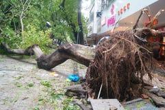 Del tifón del soplo árboles abajo Imagen de archivo libre de regalías