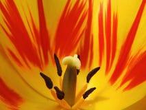 Del tulipano fine su fotografia stock libera da diritti