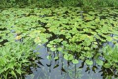 Del verde cojines lilly en las aguas inmóviles Fotografía de archivo