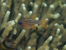 Dela-satt band Cardinalfish Arkivbilder