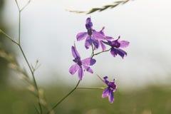 Dela sig riddarsporren (Consolidaregalis) Fotografering för Bildbyråer