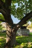 Delad stam av en gammal ek i gården av Moskvadelstatsuniversitetet, Ryssland Royaltyfria Bilder