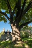 Delad stam av en gammal ek i gården av Moskvadelstatsuniversitetet, Ryssland Royaltyfri Bild