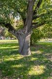 Delad stam av en gammal ek i gården av Moskvadelstatsuniversitetet, Ryssland Arkivbild