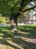 Delad stam av en gammal ek i gården av Moskvadelstatsuniversitetet, Ryssland Arkivfoto