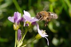 Delantal y abeja del ` s de la señora del cockooflower del pratensis del Cardamine Fotografía de archivo