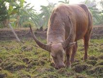 Delante de la necesidad del búfalo mucho poder Foto de archivo