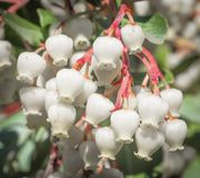 Delante de una flor de Caín de la manzana Foto de archivo libre de regalías